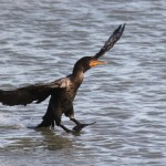 Photo Study: Double-crested Cormorants