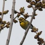 Western warblers finally arriving!