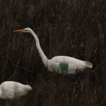 Wing-tagged Great Egret at Bombay Hook