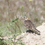 Lapland Longspur – Canyon County, Idaho