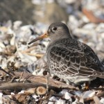 Purple Sandpiper – Conneaut Harbor