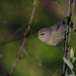 Springtime Orange-crowned Warbler – Centre County, PA