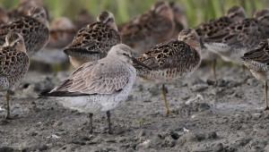 I was surprised to spot this well-worn Red Knot while scoping through a flock of Short-billed Dowitchers - a species I hadn't seen at this location when I worked here in 2010. (Photo by Alex Lamoreaux)