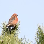 Connecticut Crossbills 