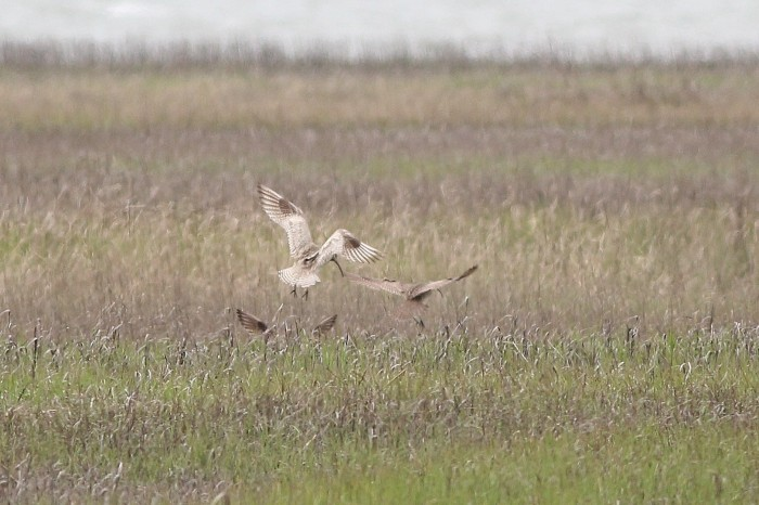 Leucistic Whimbrel landing among other Whimbrel (Photo by Alex Lamoreaux)