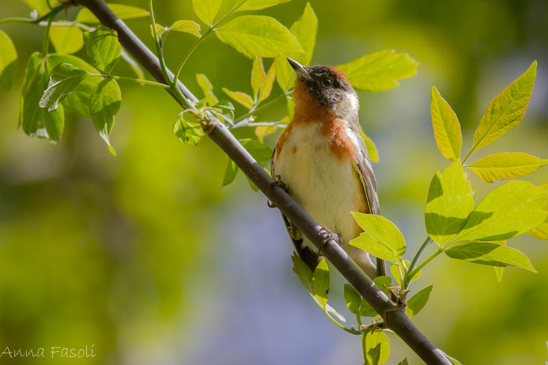 Bay-breasted Warbler - Anna Fasoli