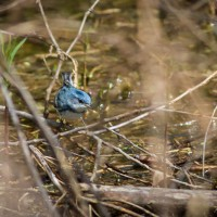 A beautiful blue bird….Cerulean Warbler at the Biggest Week!