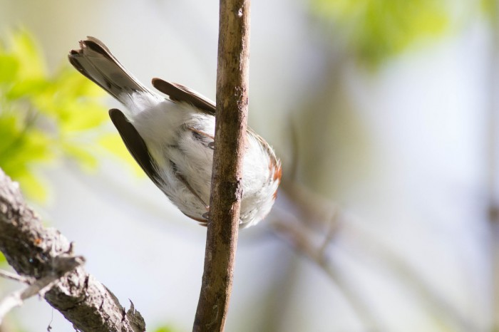 """Warblers that are """"too close"""" is an unusual problem to have, and often ends up in numerous butt shots. Can you ID this warbler behind??? If so, leave your guess in the comments!"""