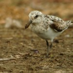 Sanderling on mud