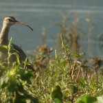 and the flats Whimbrel