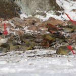 Winter Finches ID Quiz (with answers)