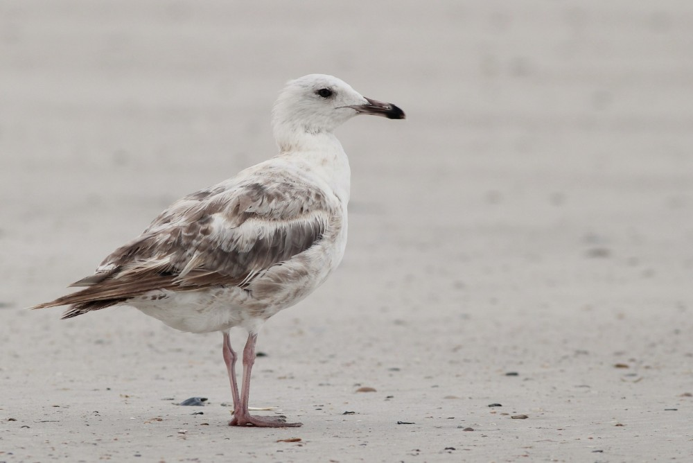 One of two worn immature Herring Gulls hanging out a the south end of the park. (Photo by Alex Lamoreaux)