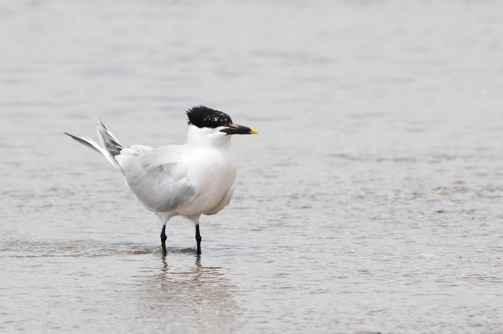 Sandwich Tern showing an extra spot of yellow, above its nostril. (Photo by Alex Lamoreaux)