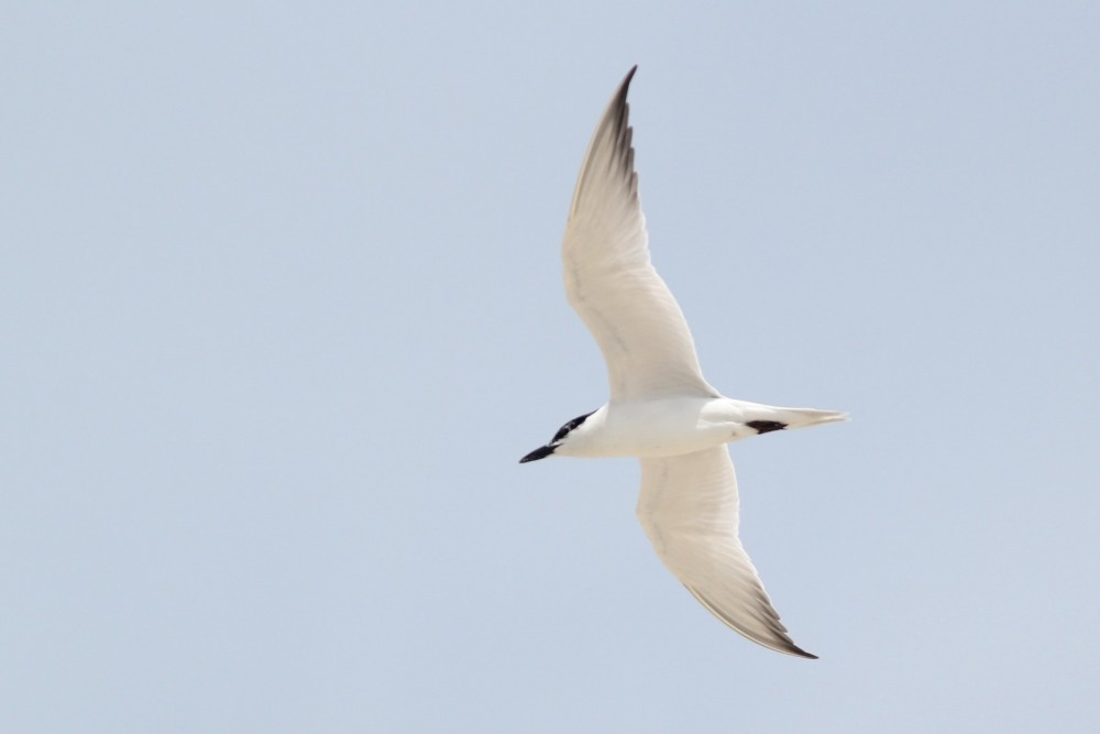One of four Gull-billed Terns that I saw at the north end of the park. (Photo by Alex Lamoreaux)