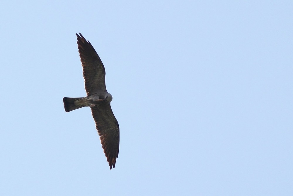 Adult female Mississippi Kite gliding over while decapitating a dragonfly. (Photo by Alex Lamoreaux)