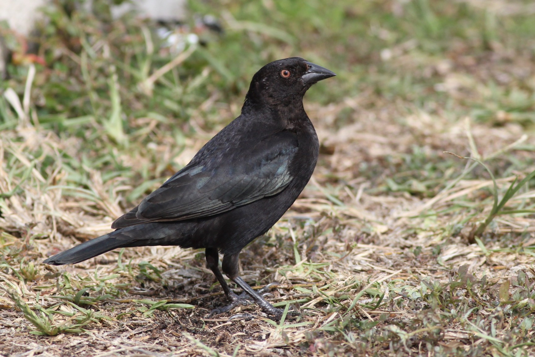 what is the relationship between cowbirds and other birds