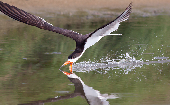Black Skimmer putting a show on for the group, it was just several meters in front of the group passing back and forth showing a juv. skimmer how to skim!  Photo by Mike Lanzone