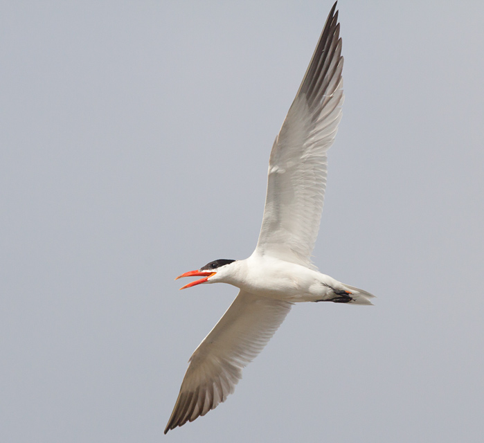 Caspian Tern at the Salt Pond on Hatteras Island Photo by Mike Lanzone