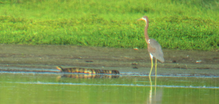 Cottonmouth near a Tri-colored Heron Photo digiscoped by Andy McGann