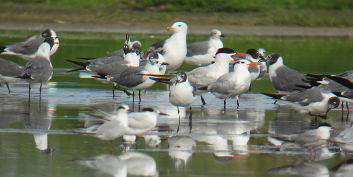 Nice mixed group of gulls and terns at the Salt Pond on Hatteras Island Phoito digiscoped by Andy McGann
