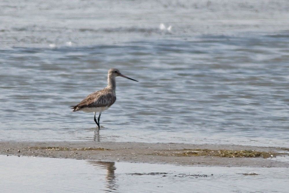 Bar-tailed Godwit - Adult female at Chincoteague NWR, VA (Photo by Alex Lamoreaux)
