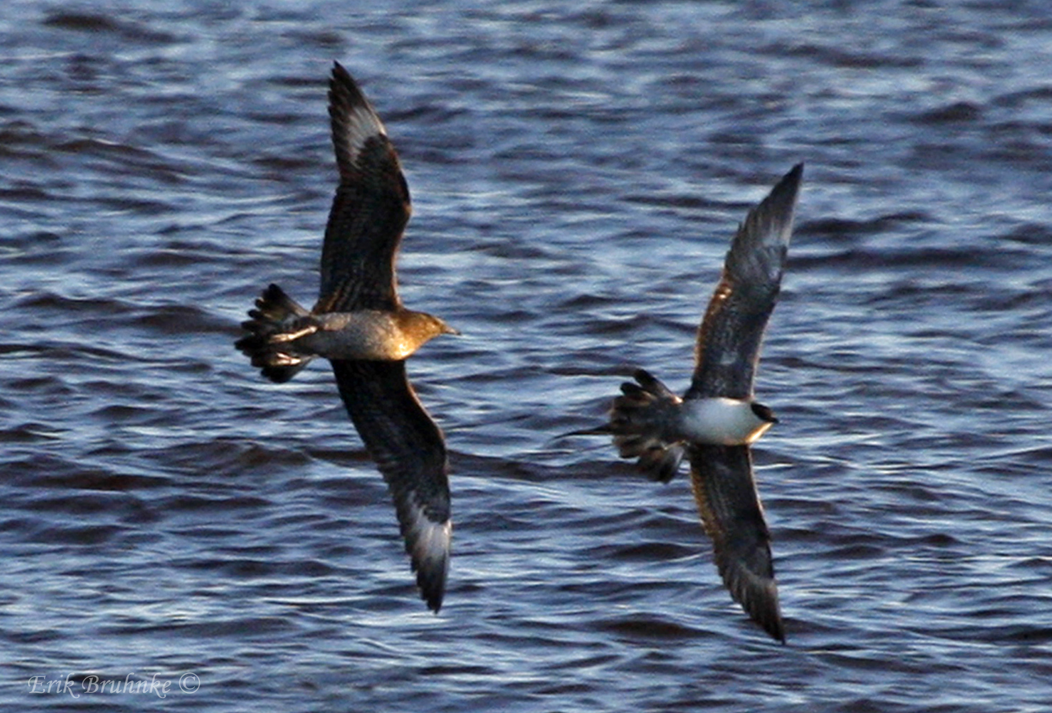 Parasitic Jaeger chasing a Long-tailed Jaeger. Photographed from Wisconsin Point - Superior, WI