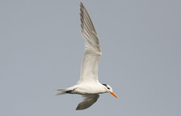Royal Tern near Cape Hatteras Photo by Mike Lanzone