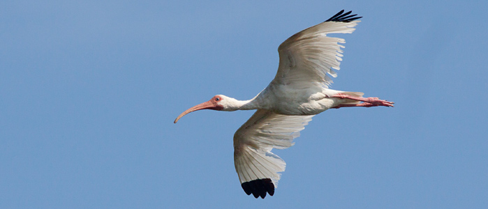 White Ibis flying over the group Photo by Mike Lanzone