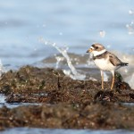 Birding Delaware: Indian River Inlet to Bombay Hook
