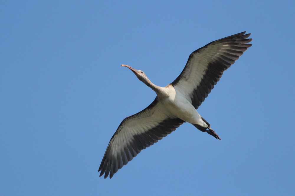 Immature White Ibis flying over Pea Island NWR Photo by Alex Lamoreaux
