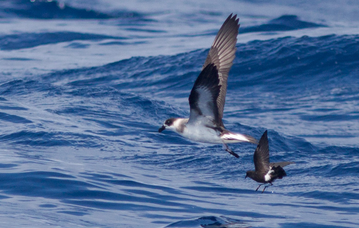 """Black-faced"" Black-capped Petrel and Wilson's Storm-petrel (Photo by Mike Lanzone)"
