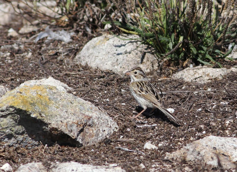 Figure 6. A rare bird throughout California (with more than 10 locations submitting eBird sightings in the past month), three have wound up on the Farallones in the past week alone.