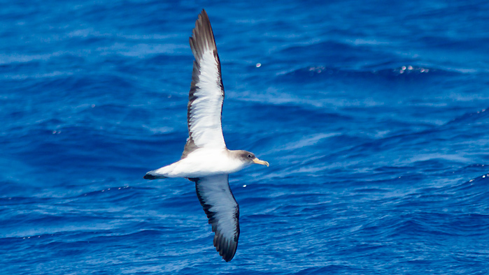 Cory's Shearwater of Hatteras, NC