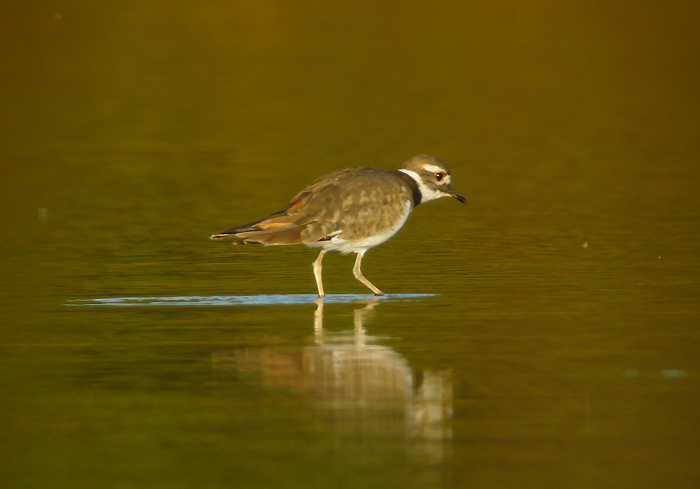 I loved looking at the Killdeer after I took these photos. Sometimes because they are so common I didn't stop to look at how pretty they are with their rufous rumps and red eyes.