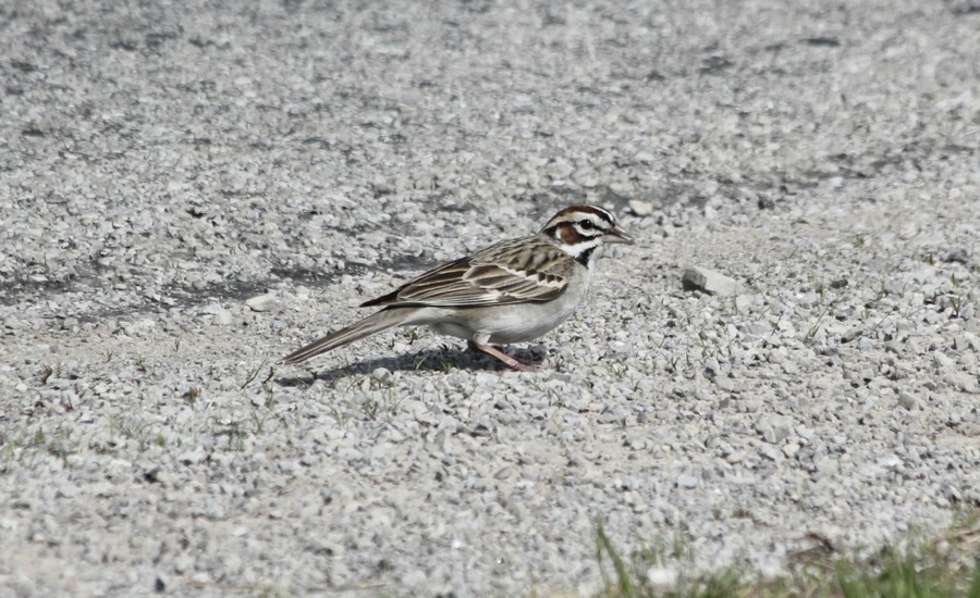 Lark Sparrow, aka clownface (photo by Steve Brenner)