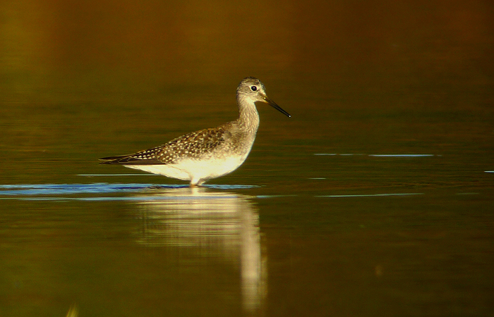 One of the better digiscoped pictures I was able to take. This one is a Lesser Yellowlegs