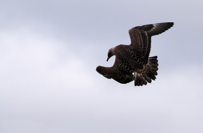 Immature Parasitic Jaeger putting on the air brakes, to pursue a gull. Photo by Erik Bruhnke