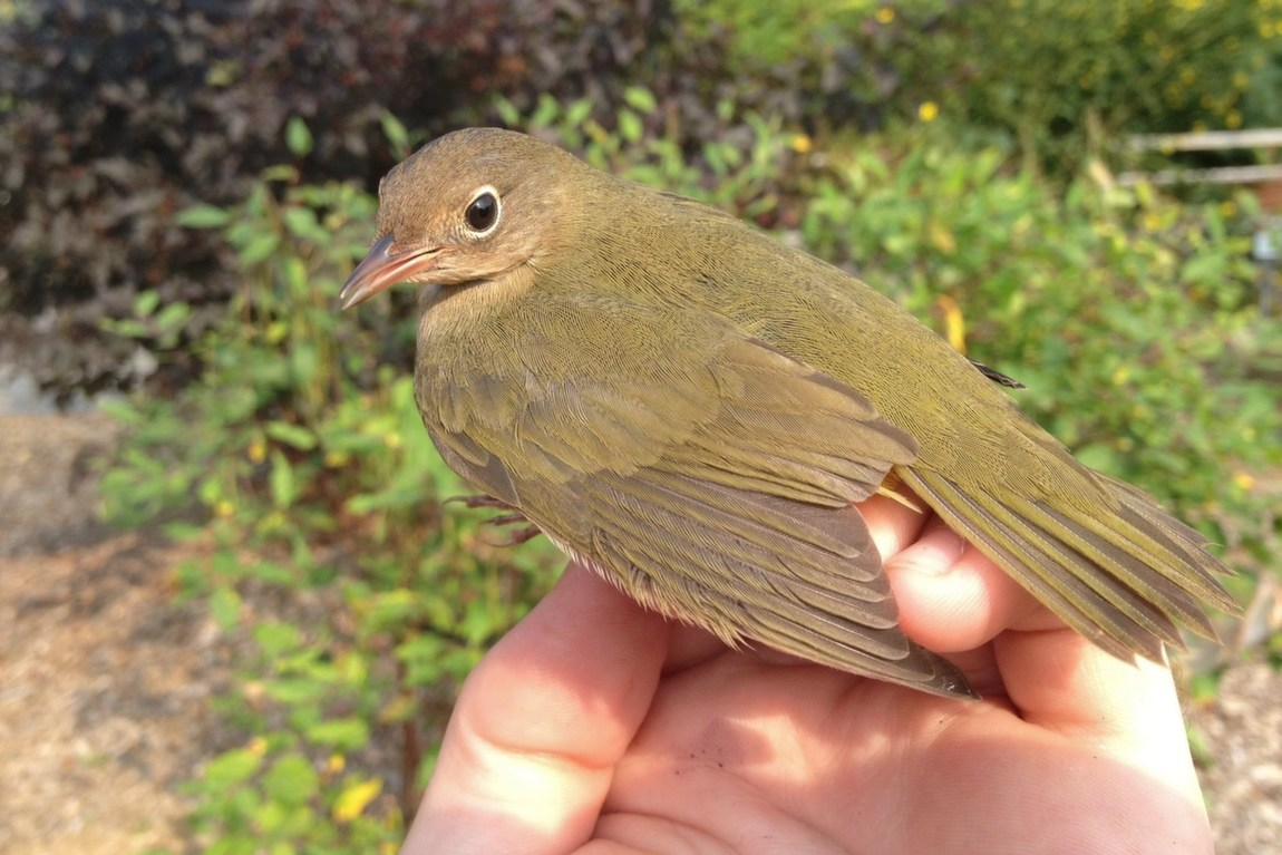 Connecticut Warbler - juvenile (Photo by Alex Lamoreaux)