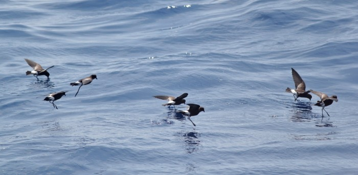 A few Wilson's Storm-Petrels foraging near the boat. (Photo by Alex Lamoreaux)