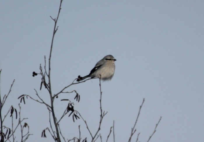 Northern Shrike in Minnesota (photo by Steve Brenner)