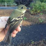 Yellow-bellied Invasion – PSU Fall Banding