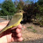 Mourning Warbler – PSU Fall Banding