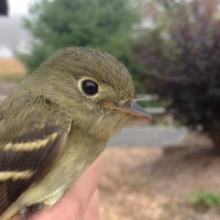 Yellow-bellied Flycatcher - juvenile (Photo by Alex Lamoreaux)