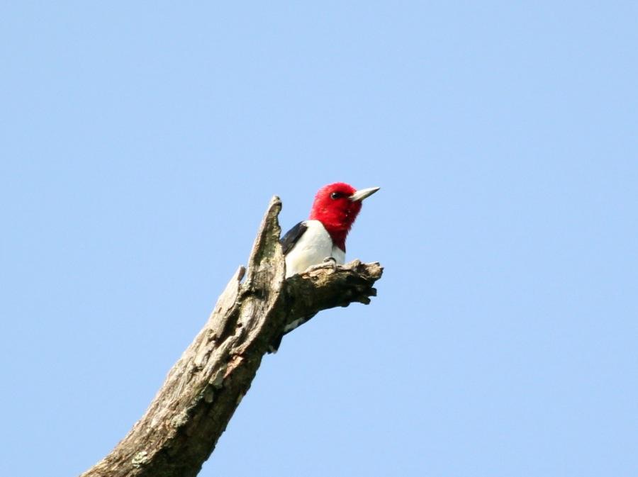 Red-headed Woodpecker (photo by Steve Brenner)