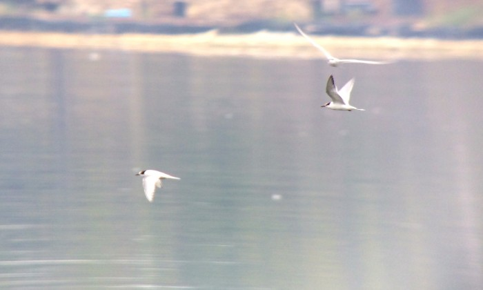first year Arctic Tern - photo by Drew Weber