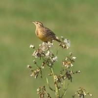 Eastern Meadowlark - Leica APO-Televid/handheld (Mike Lanzone)