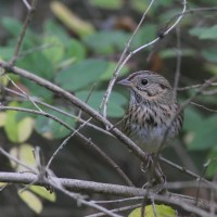 Lincoln's Sparrow (Photo by Alex Lamoreaux)