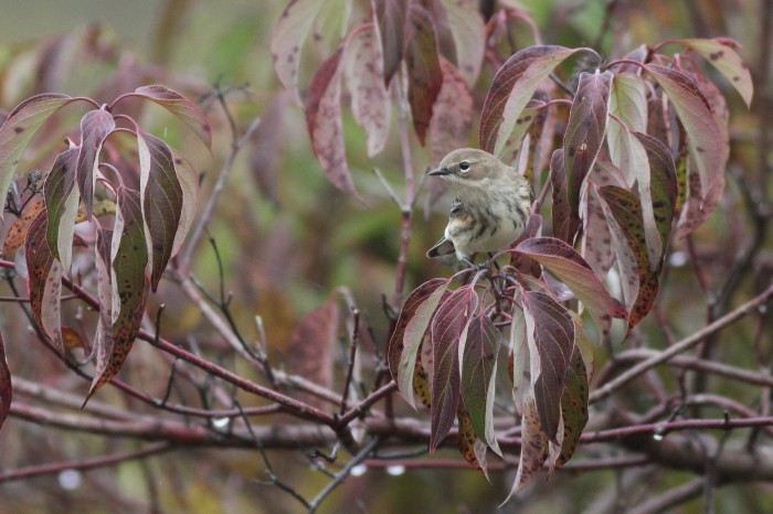 Yellow-rumped Warbler at BESP (Photo by Alex Lamoreaux)