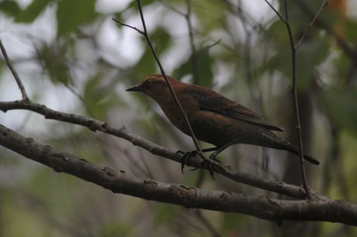 Rusty Blackbird - female (Photo by Alex Lamoreaux)