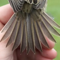 Nelson's Sparrow - immature (Photo by Alex Lamoreaux)